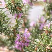 ローズマリーの花