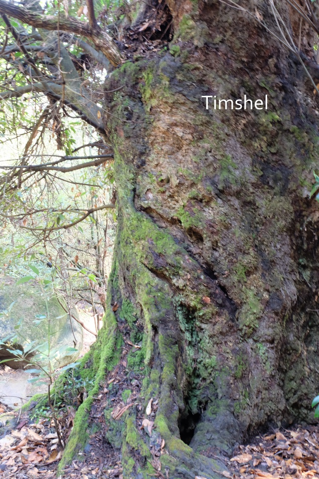 霊峰弥山の大木