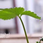いちごの葉の水玉レース